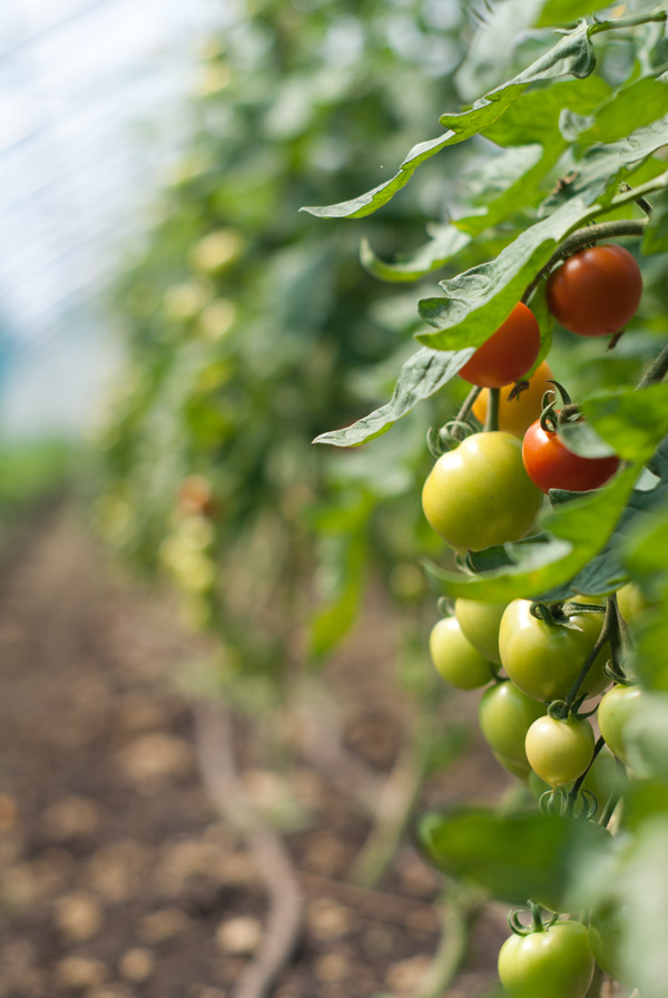 tomates cocktail, le 30 juin